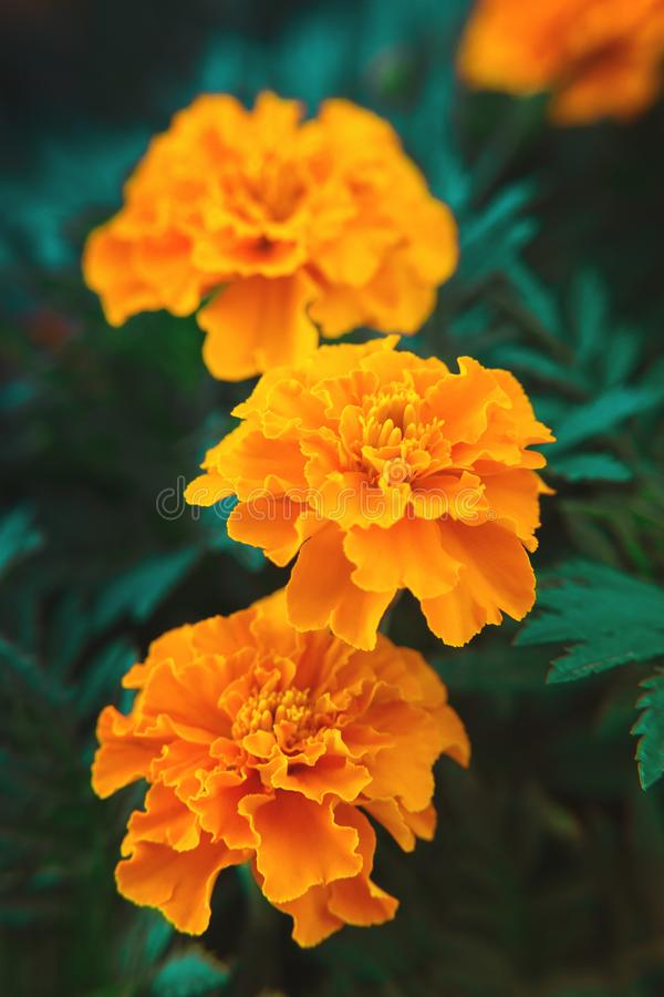 De fleurs décoratives de souci plan rapproché amorti orange et medicative images stock