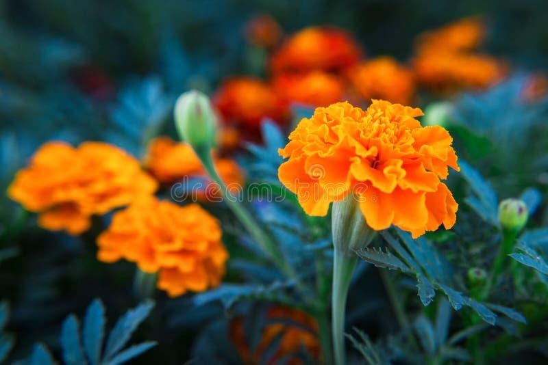 De fleurs décoratives de souci plan rapproché vibrant orange et medicative image libre de droits