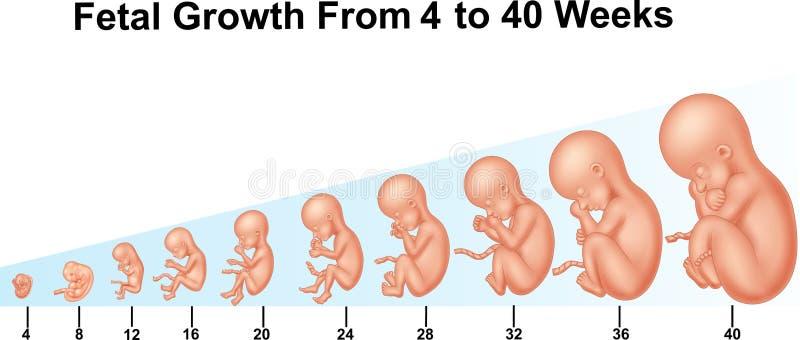 De foetale groei van 4 tot 40 weken royalty-vrije illustratie