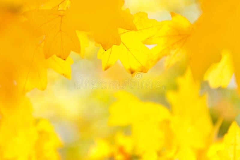 De-fokuserad suddig bild av gula lönnlöv, höstsuddighetsbakgrund, textur royaltyfri bild