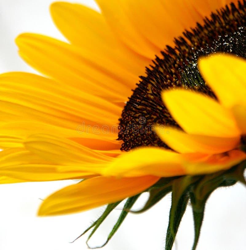 De Fonkelingen van de zonnebloem stock afbeeldingen