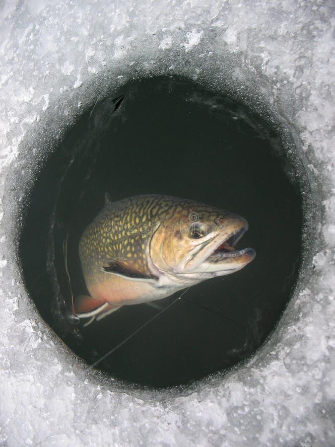 De fontinaliswinter die van bronforelsalvelinus op meer vissen stock afbeelding