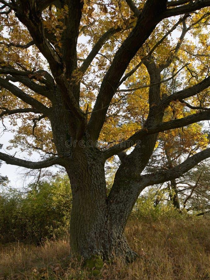 De forse eik met vertakte boomstam, met herfst-gekleurde bladeren royalty-vrije stock afbeeldingen