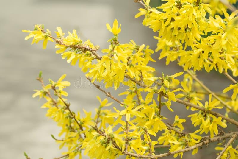De forsythia bloeit Gouden Klok, Forsythia x van de Grensforsythia intermedia, europaea die in de struik van de de lentetuin, zon stock foto's