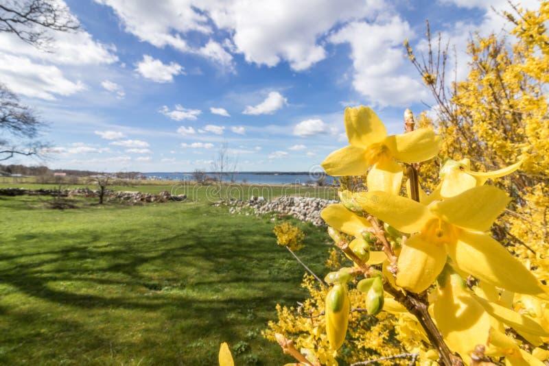 De forsythia bloeit voor met groen gras en blauwe hemel met witte wolken, Jomfruland, Noorwegen stock fotografie