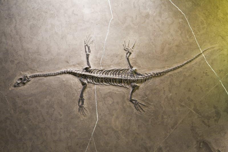 De fossielen van de dinosaurus stock afbeelding