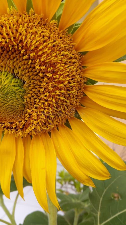 De foto macroachtergrond van de zonbloem stock foto's
