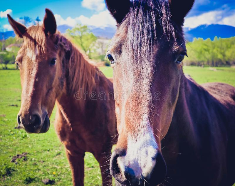 De foto schildert mooi mooi bruin wit paard twee die af op a staren stock foto's