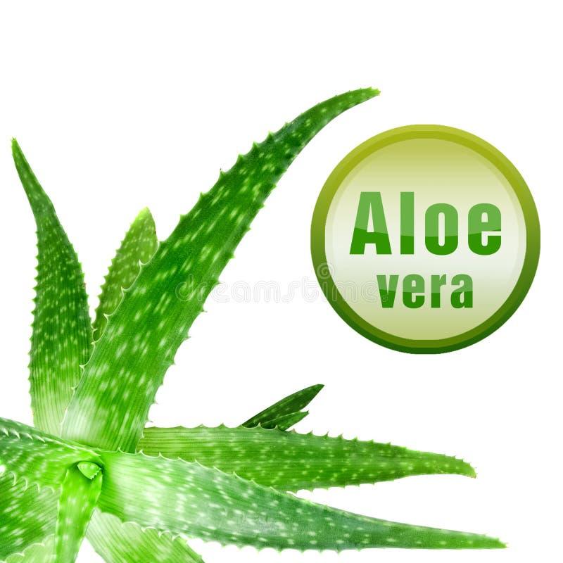 De foto van de close-up van groen aloë Vera met pictogram stock afbeeldingen