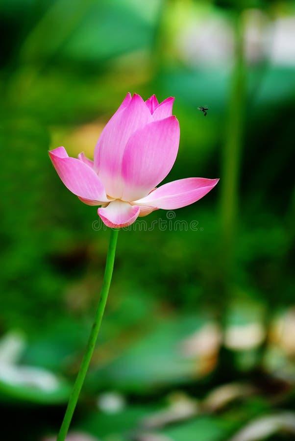 De foto van de voorraad van roze waterlelies stock fotografie