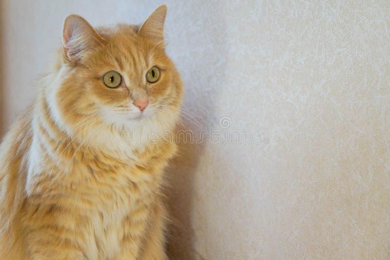 De foto van een nadenkende rode kat op een lichte achtergrond royalty-vrije stock foto