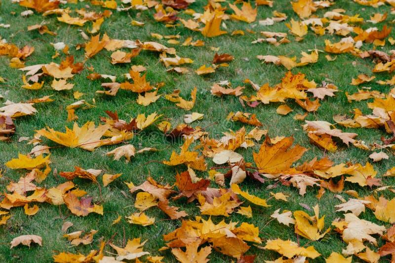 De foto van gele bladeren ligt op groen gras in park Mooi seizoen Het concept van de herfst Geïsoleerd Sluit omhoog geschoten Hel royalty-vrije stock foto's