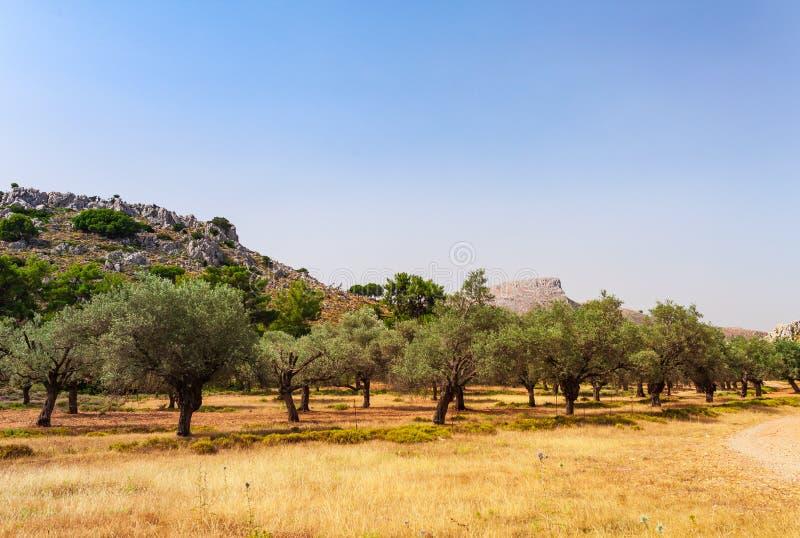 De foto van het olijfbomenlandschap op het eiland van Rhodos, Dodecanese, Griekenland Beroemde toeristenbestemming in Zuid-Europa royalty-vrije stock afbeelding