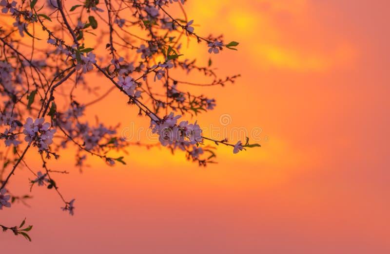 De bloesem van de kers over oranje zonsondergang stock foto