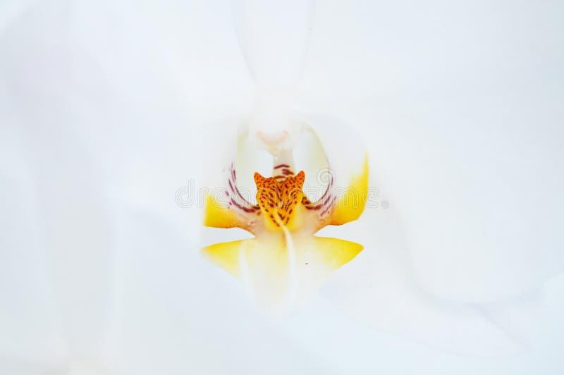 De foto van de orchideebloem Orchidee macroachtergrond Phalaenopsistextuur Witte orchidee Orchideetextuur stock fotografie
