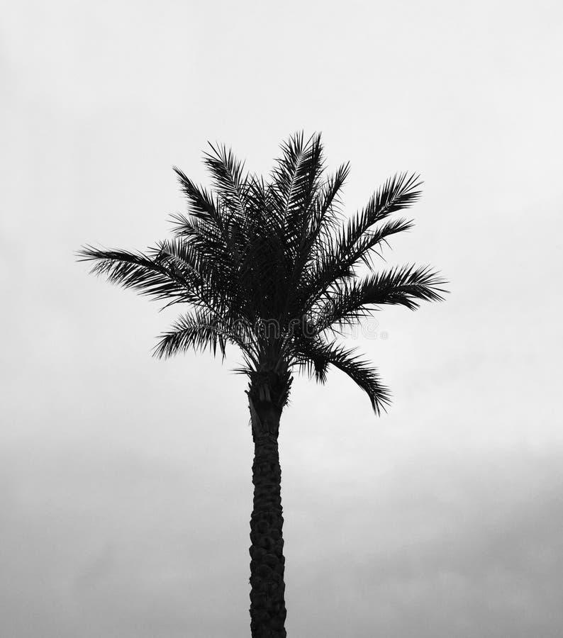 De foto wordt genomen in gradatie Zwart-witte kleuren: Palm tegen de hemel stock afbeelding