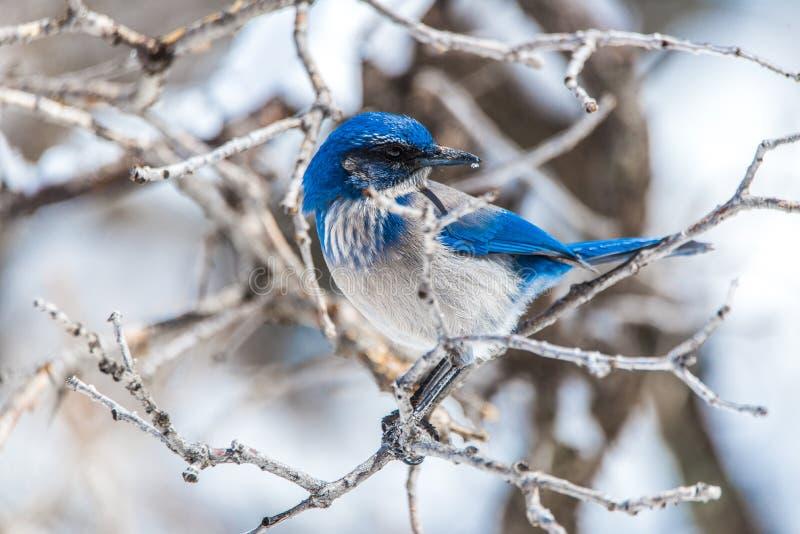 De fotografie van de de wintervogel - blauwe vogel op sneeuw behandelde struikboom royalty-vrije stock foto's