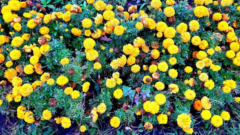 De Franse goudsbloem van Tagetespatula in mooie bloei stock foto's