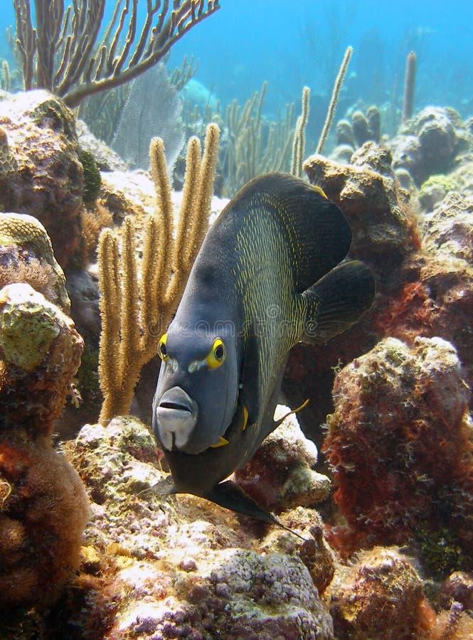 De Franse Vissen van de Engel stock foto's
