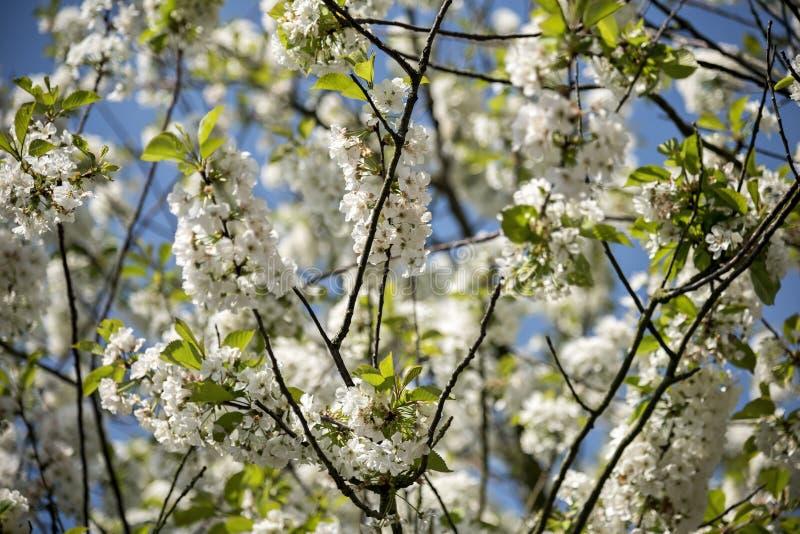 De fruitboom die in de lente bloeit, duizenden witte kleine bloemen versiert de takken, gedurende enkele weken duurt bloi royalty-vrije stock fotografie