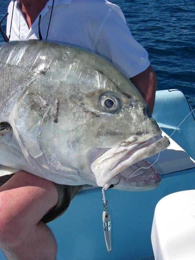 De géant poissons travelly photos libres de droits