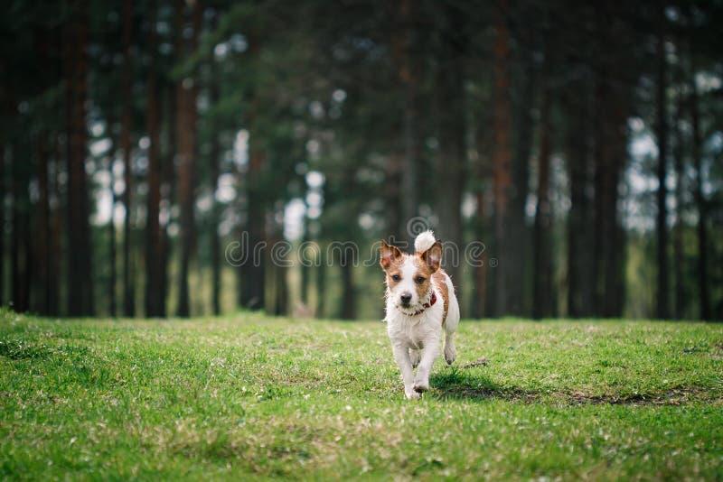 De gangen van hondjack russell terrier op aard royalty-vrije stock fotografie