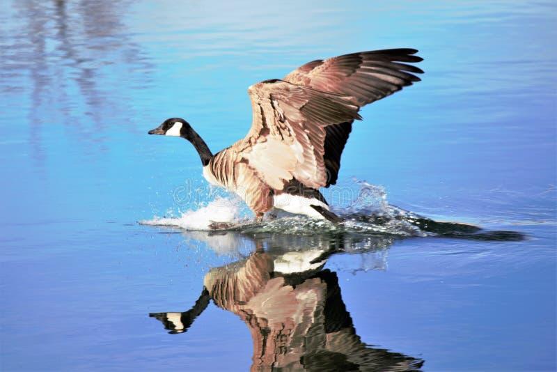De Gans die van Canada op een vlotte vijver in het water landen royalty-vrije stock foto