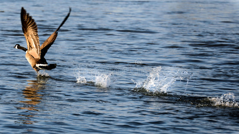 De gans die van Canada vlucht op water nemen royalty-vrije stock afbeeldingen