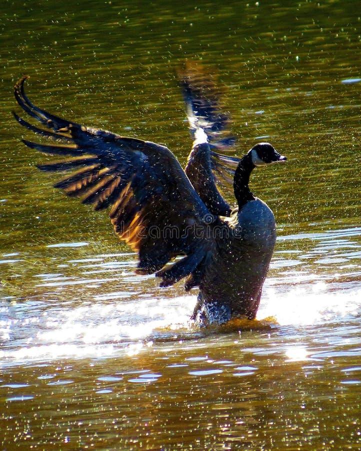 De Gans van Canada het Uitspreiden Vleugels die in het Water bespatten stock fotografie