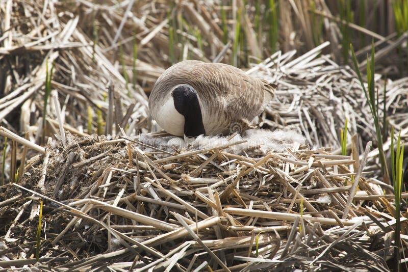 De gans van Canada met een ei in het nest, de lente, Massachusetts stock fotografie