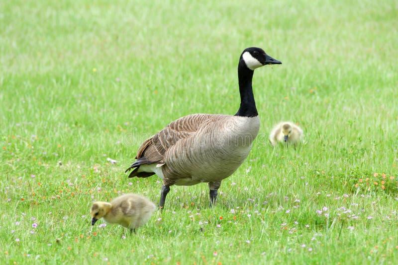De gans van Canada met gansjes in gras stock fotografie