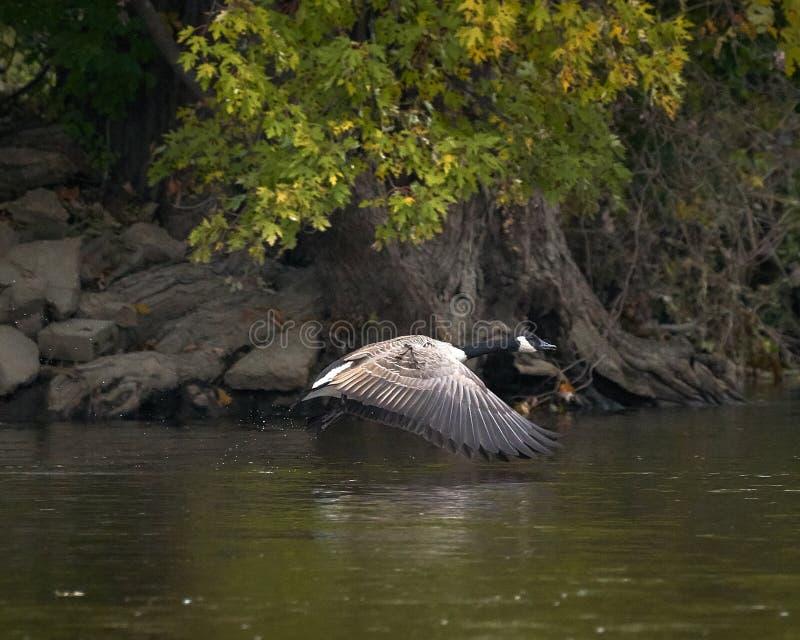 De gans van Canada tijdens de vlucht over water stock foto's