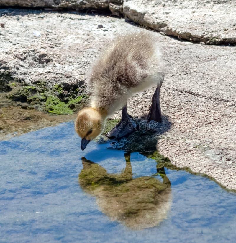 De gansgansje die van Canada bezinning in het water bekijken royalty-vrije stock afbeeldingen