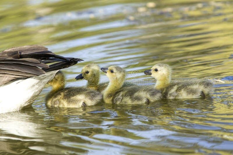 De gansjes zwemmen achter hun moeder stock fotografie
