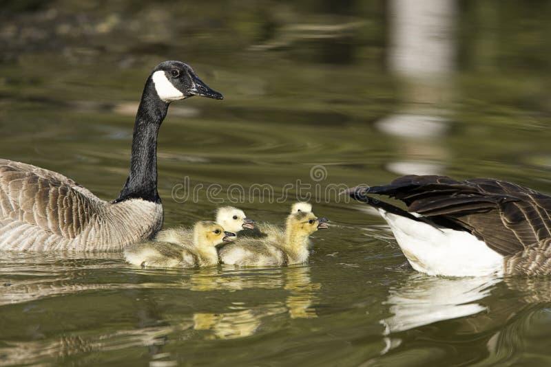 De gansjes zwemmen tussen ouders stock foto's
