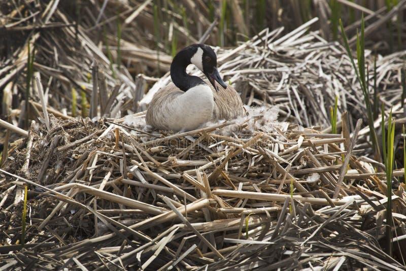 De ganszitting van Canada op een nest bij Grote Weiden, Massachusetts royalty-vrije stock foto