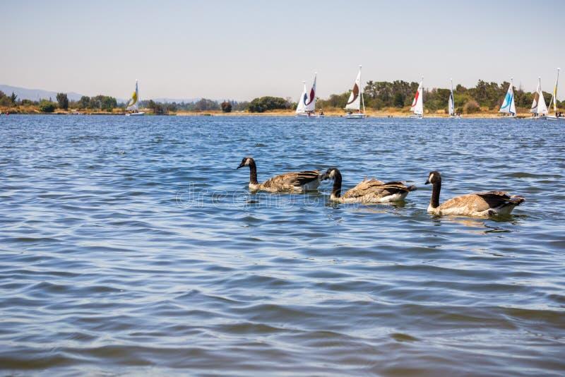 De ganzen die van Canada bij Oeverpark en Meer, Mountain View, Californië zwemmen royalty-vrije stock fotografie