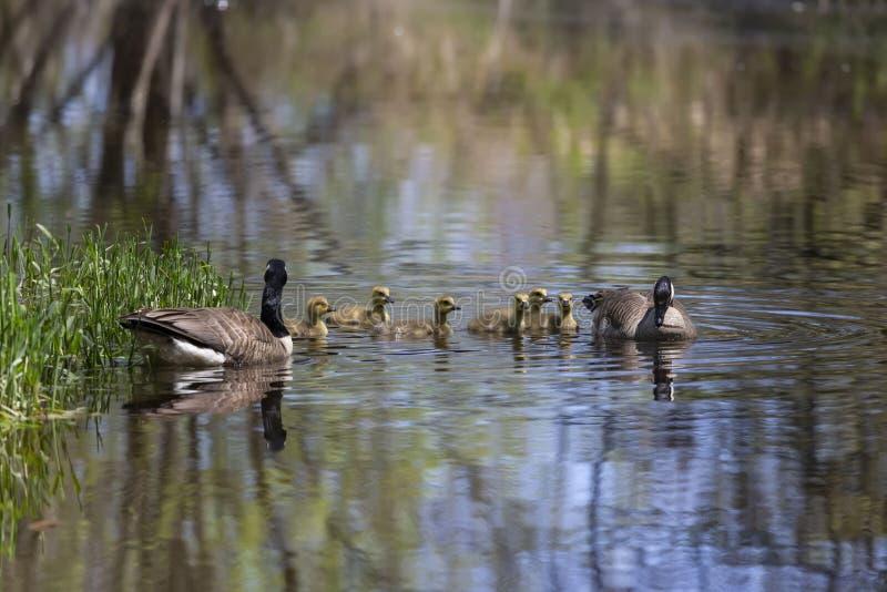 De ganzen die van Canada met hun gansjes zwemmen stock foto