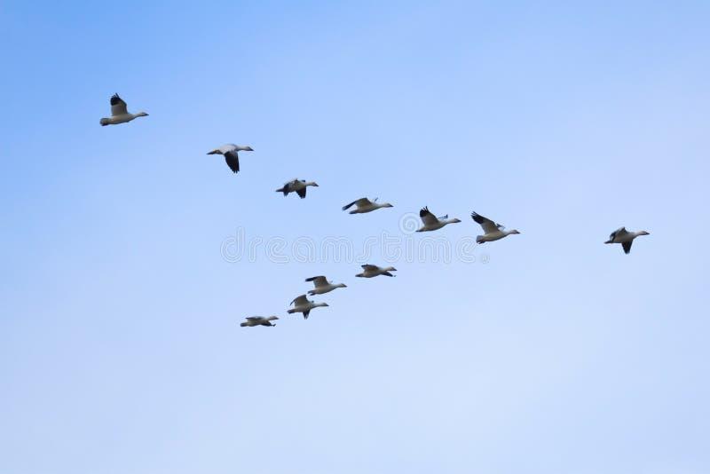 De ganzen die van de sneeuw in vorming vliegen