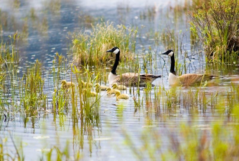 De ganzen en de gansjes van Canada stock fotografie