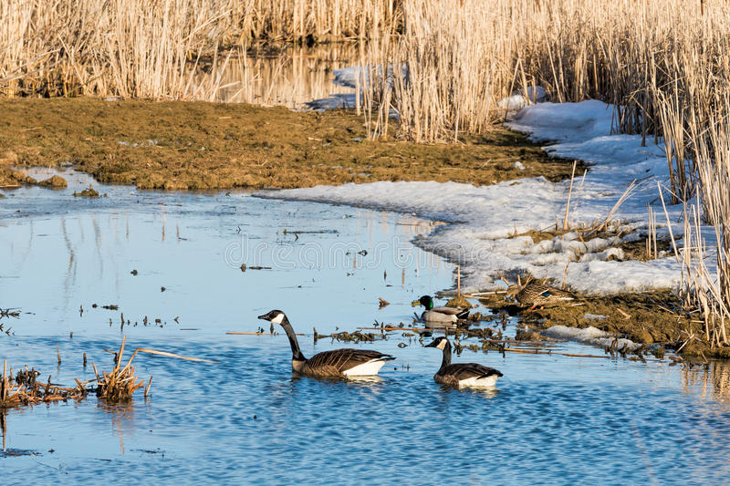 De ganzen en de wilde eendeenden van Canada stock afbeelding