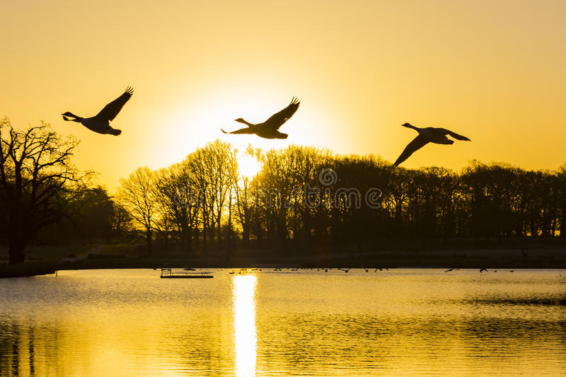 De ganzen & x28 van Canada; Branta canadensis& x29; het vliegen over Pen Ponds Sunrise royalty-vrije stock foto's