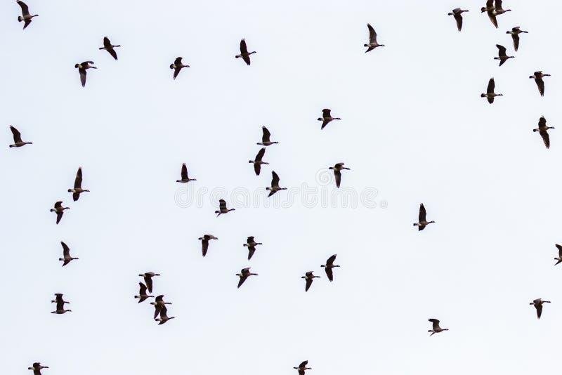 De Ganzen van Canada het vliegen stock fotografie