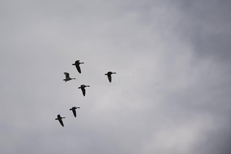 De Ganzen van Canada tijdens de vlucht stock afbeeldingen