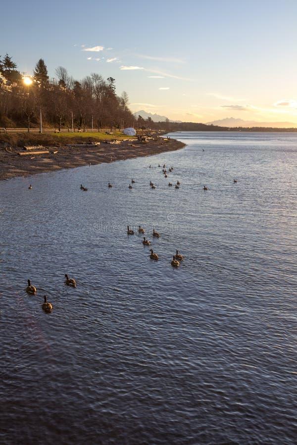 De Ganzen van Canada zwemmen naar Witte Rots tijdens mooie zonsopgang royalty-vrije stock foto's