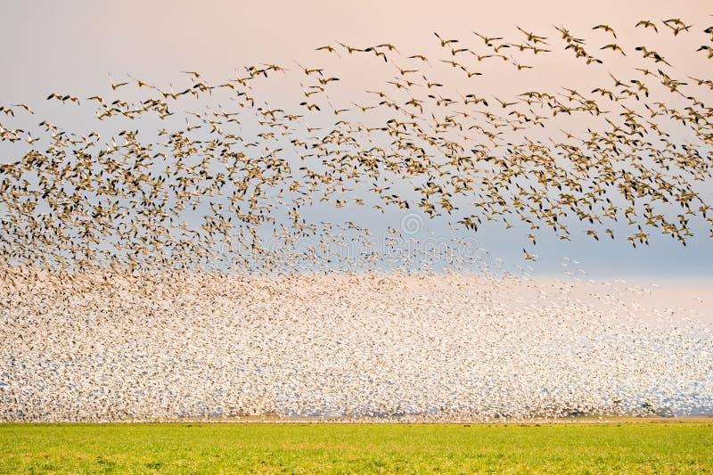 De ganzen van de sneeuw stock foto