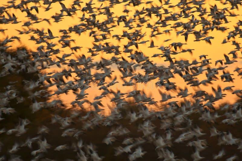 De ganzen van de sneeuw stock afbeeldingen