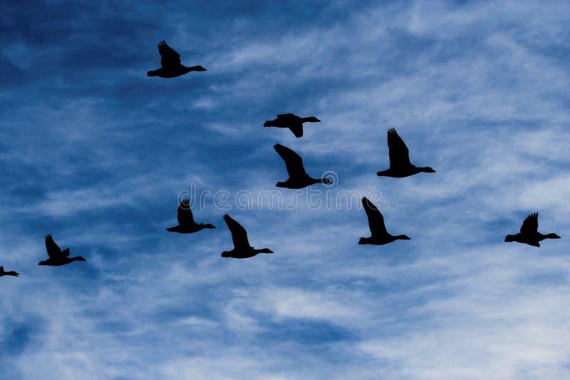 De ganzen van de sneeuw stock afbeelding