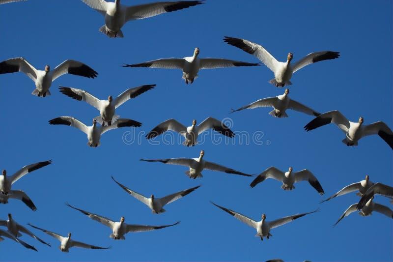 De ganzen van de sneeuw het vliegen stock afbeeldingen