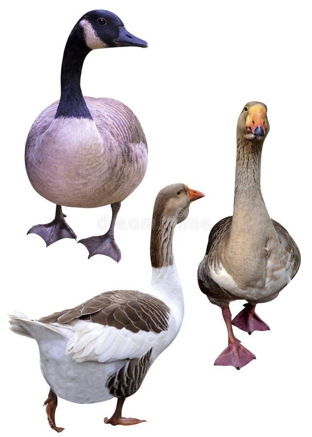 De ganzeneenden van landbouwbedrijfvogels royalty-vrije stock fotografie
